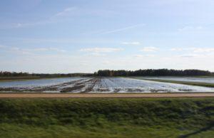 plantacja żurawiny, uprawy żurawiny wielkoowocowej