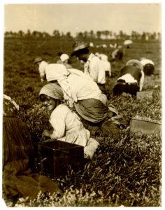 ręczny zbiór żurawiny w USA w 1910 roku