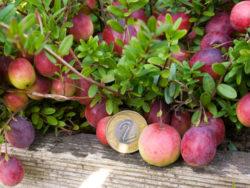 owoce żurawiny wielkoowocowej