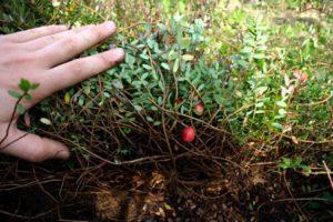 krzew żurawiny, plantacja żurawiny, uprawa żurawiny