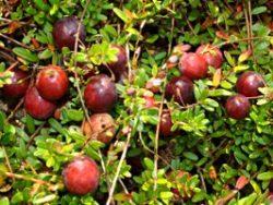 żurawina, uprawa żurawiny, owoce żurawiny, odmiana pilgrim