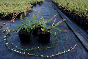 sadzonki żurawiny, uprawa żurawiny