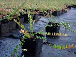 2-letnie sadzonki żurawiny